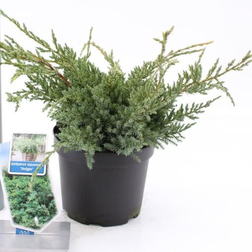 Juniperus squamata 'Holger' (About Plants Zundert BV)
