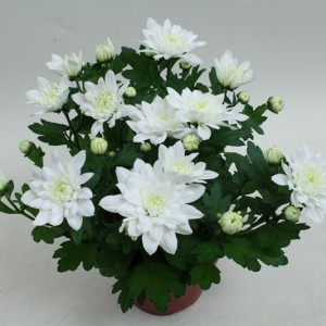 Chrysanthemum 'Chrystal White'