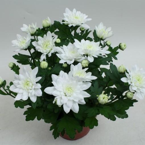 Chrysanthemum 'Chrystal White' (Gebr Nederpel Potplanten)