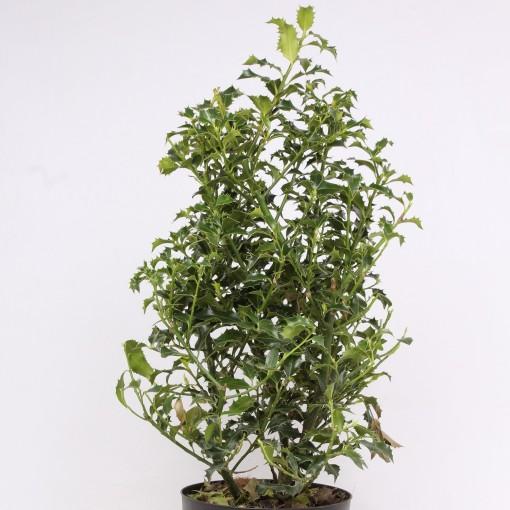 Ilex aquifolium 'Alaska' (Vredebest, Kwekerij)