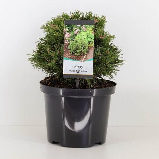 Pinus mugo 'Benjamin' (Bremmer Boomkwekerijen)