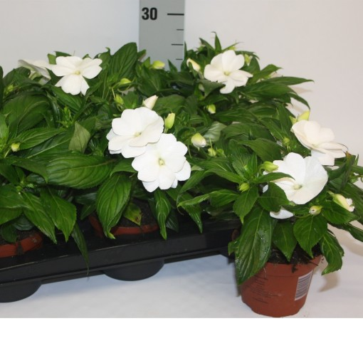 Impatiens TAMARINDA WHITE (Van Dijk Potplanten)