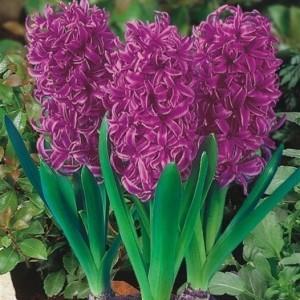 Hyacinthus orientalis 'Purple Sensation' (J.H van der Vossen B.V.)