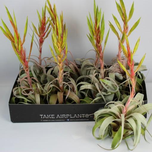 Tillandsia xerographica (Corsa plant)