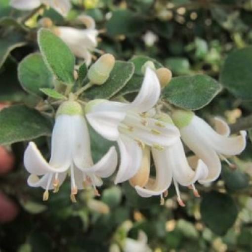 Correa 'Snowbelle' (Flora Toscana)