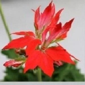 Pelargonium FIREWORKS RED-WHITE (Bas van der Wilt)