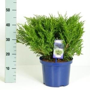 Juniperus horizontalis 'Andorra Compact' (Kwekerij Vredebest)