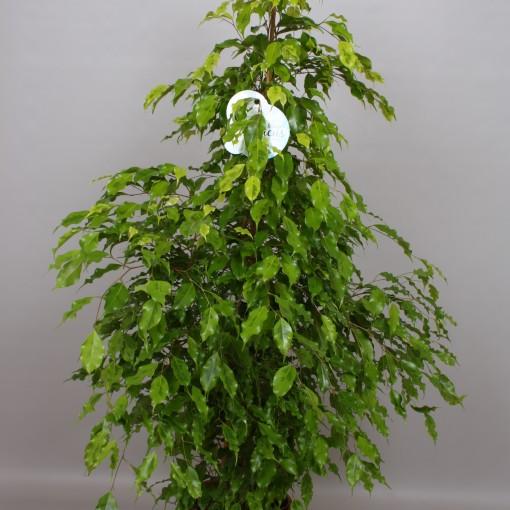 Ficus benjamina 'Golden Monique' (Peeters Potplanten)