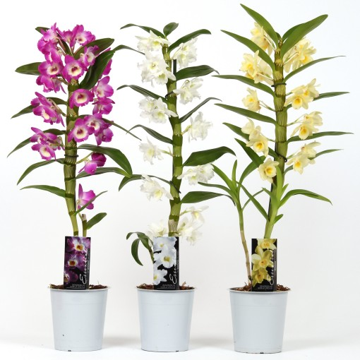 Dendrobium nobile MIX (Wooning Orchids)