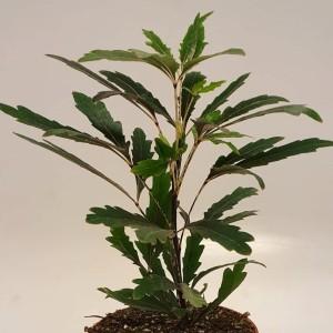 Schefflera elegantissima 'Castor'