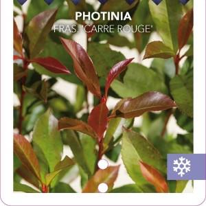 Photinia x fraseri 'Mandarino'