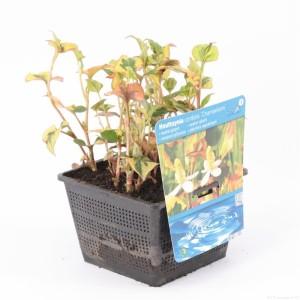 Houttuynia cordata 'Chameleon' (Moerings Waterplanten)