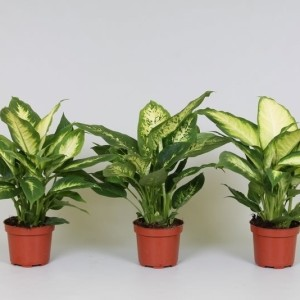 Dieffenbachia MIX (Kwekerij J. de Groot BV)