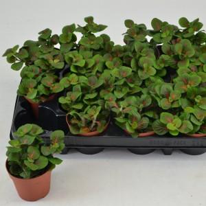 Fittonia verschaffeltii 'Fortissimo' (Schoenmakers Tropische Potcultures)