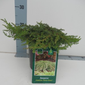 Juniperus communis 'Green Carpet' (De Koekoek Potcultures)