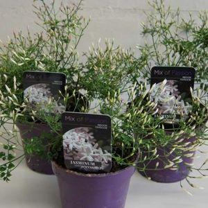 Jasminum polyanthum (Plantcare BVBA)