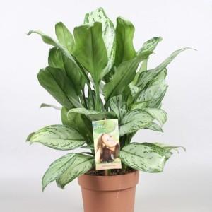 Aglaonema 'Maria Christina' (Vireo Plant Sales)