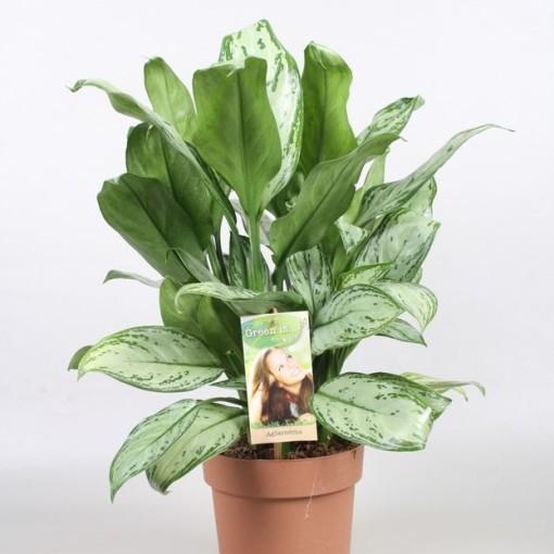 Aglaonema 'Maria Christina' (Vireõ Plant Sales)