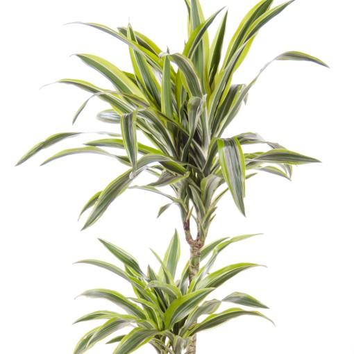 Dracaena fragrans 'Lemon Lime' (Ammerlaan, The Green Innovater)