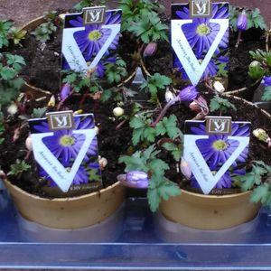 Anemone blanda 'Blue Shades' (J.H van der Vossen B.V.)