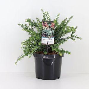 Podocarpus lawrencei 'Blue Gem'