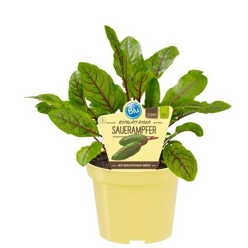 Rumex sanguineus (Experts in Green)