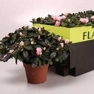 Rhododendron 'Inga' (De Bruyne - Flandresse)