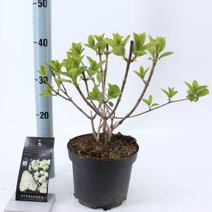 Hydrangea paniculata 'Silver Dollar'