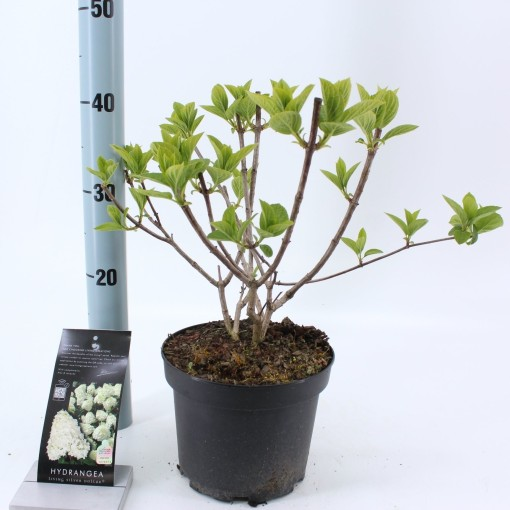 Hydrangea paniculata 'Silver Dollar' (About Plants Zundert BV)