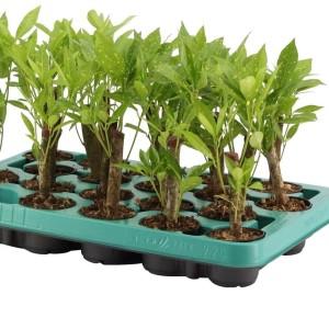 Codiaeum variegatum 'Pictum'