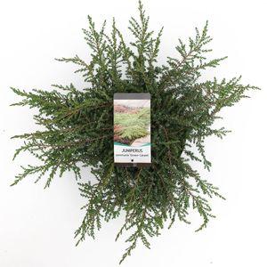 Juniperus communis 'Green Carpet' (Bremmer Boomkwekerijen)