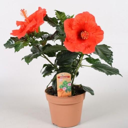 Hibiscus rosa-sinensis SUNNY BORDEAUX (Vireõ Plant Sales)