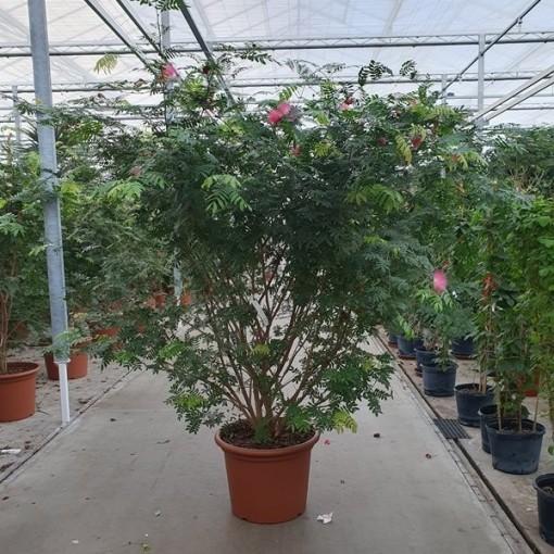 Calliandra houstoniana (Fachjan)