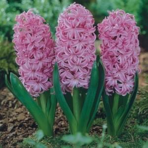 Hyacinthus orientalis 'Pink Pearl' (J.H van der Vossen B.V.)