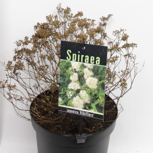 Spiraea MIX (Elst-Bevers)