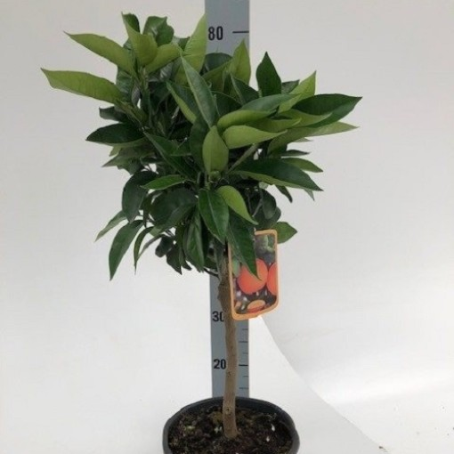 Citrus x sinensis (Green Collect Sales)