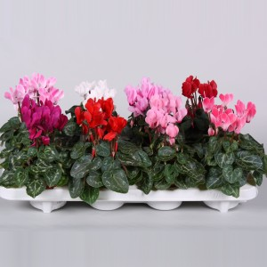 Cyclamen SUPER SERIE VERANO MIX (Endhoven Flowering Plants)