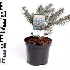 Picea pungens 'Karpaten' (Bremmer Boomkwekerijen)