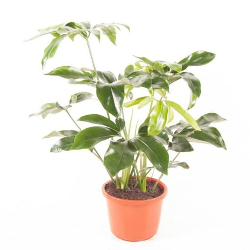 Philodendron 'Green Wonder' (Ammerlaan, The Green Innovater)