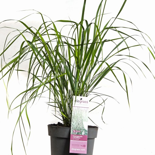 Calamagrostis x acutiflora 'Karl Foerster' (Hoogeveen Plants)