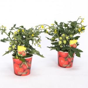 Solanum lycopersicum 'Ponchi-Re' (Bunnik Plants)