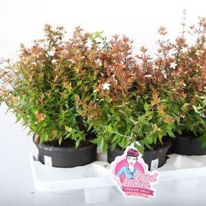 Abelia x grandiflora MIX (Experts in Green)