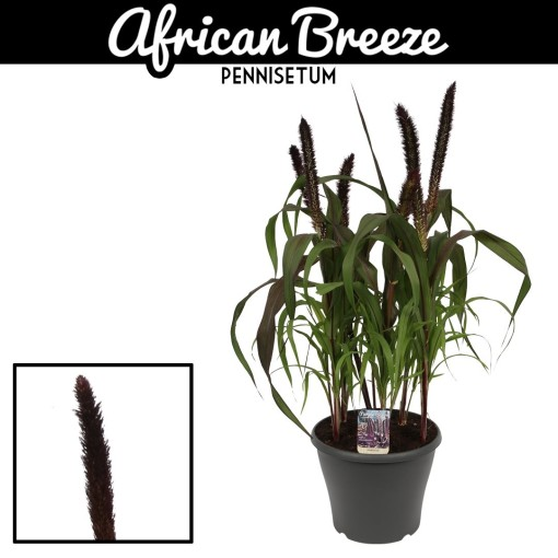 Pennisetum 'Purple Baron' (Vreugdenhil Bulbs & Plants)