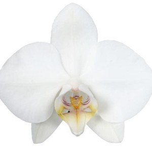 Phalaenopsis 'Tropic Snowball' (Ter Laak Orchids Multiflora)