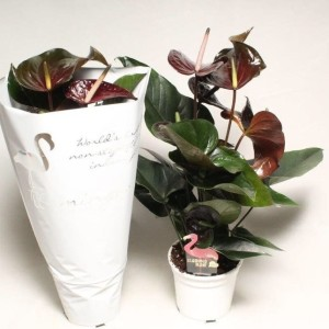 Anthurium PARIS BLACK