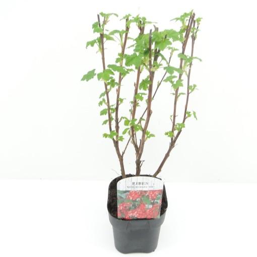 Ribes sanguineum 'King Edward VII' (Hooftman boomkwekerij)