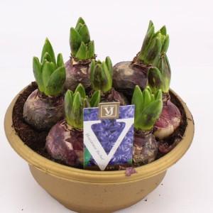 Hyacinthus orientalis 'Blue Pearl'