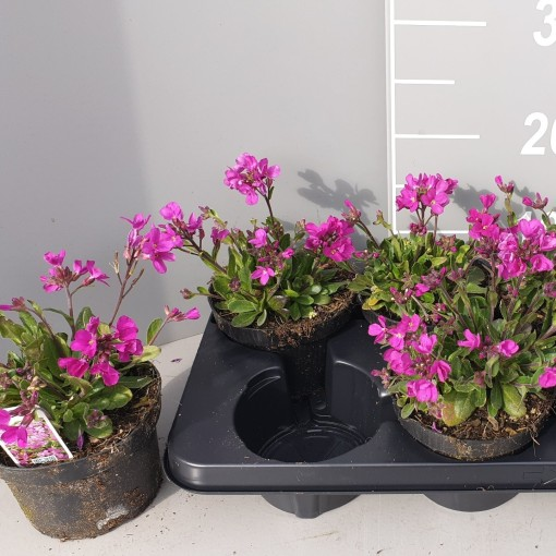 Schefflera blepharidophylla (Leeuw-den Engelsen)