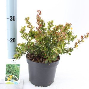 Berberis buxifolia 'Nana' (About Plants Zundert BV)