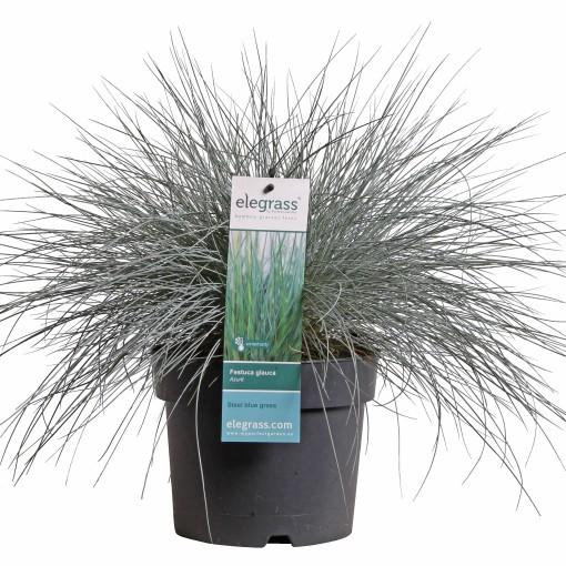 Festuca glauca 'Azure Blue' (Hoogeveen Plants)